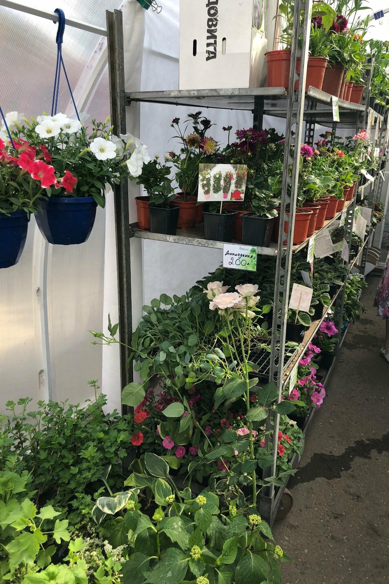 В теплицах Емвальского питомника представлен хороший выбор рассады овощных культур, однолетники, розы, пеларгонии, георгины